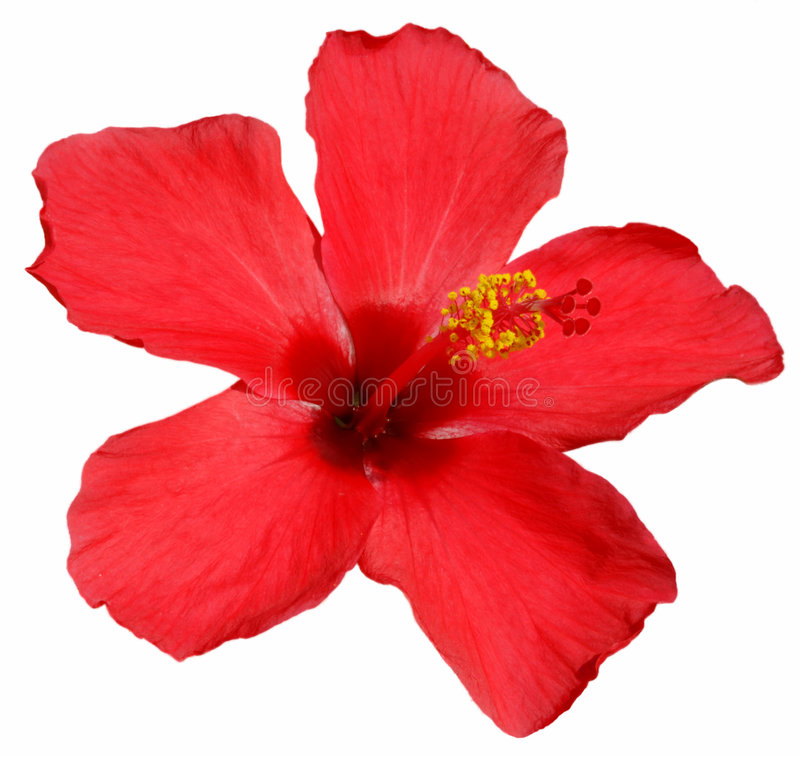 Hibiscus blossom royalty free stock photos