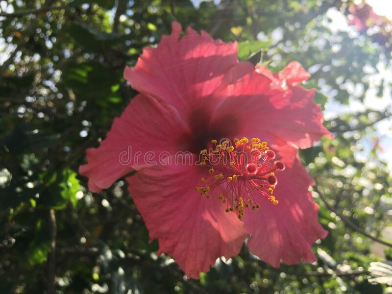 Hibiscus Blossoming with Pink Flowers in Bright Sunlight in Winter on Kauai Island in Hawaii. stock photo