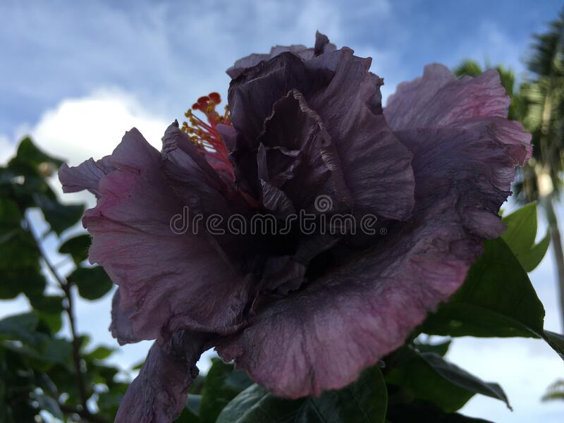 Hibiscus Blossoming with Purple Flowers in Bright Sunlight in Winter on Kauai Island in Hawaii. royalty free stock image