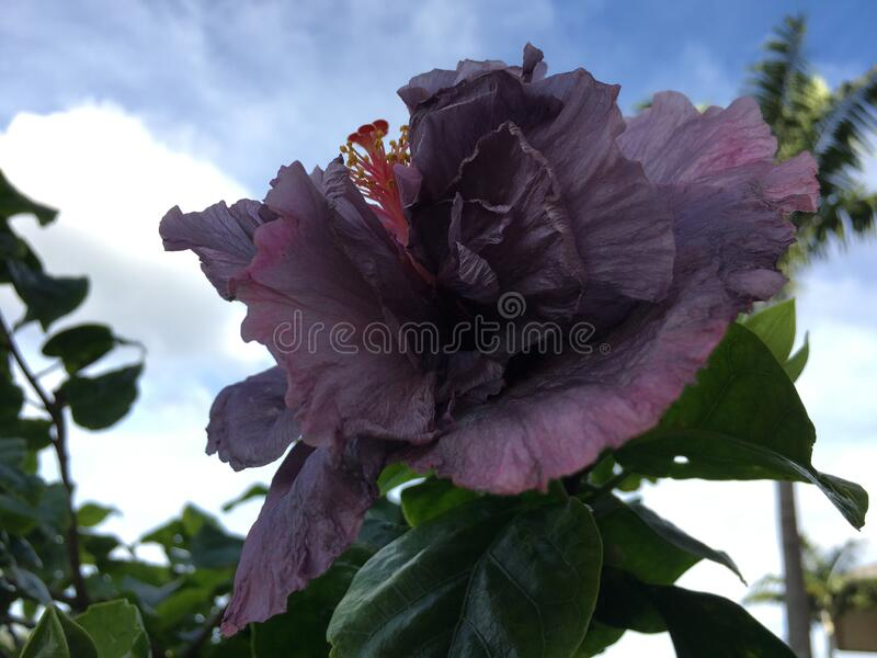 Hibiscus Blossoming with Purple Flowers in Bright Sunlight in Winter on Kauai Island in Hawaii. royalty free stock photography