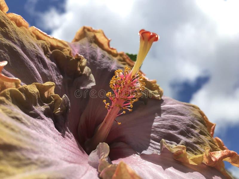 Hibiscus Blossoming with Purple and Orange Flowers in Lihue on Kauai Island, Hawaii. stock photo