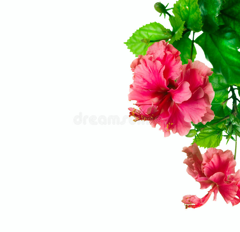 Hibiscus border Design royalty free stock photography