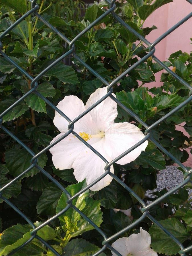 Hibiscus branco foto de stock royalty free