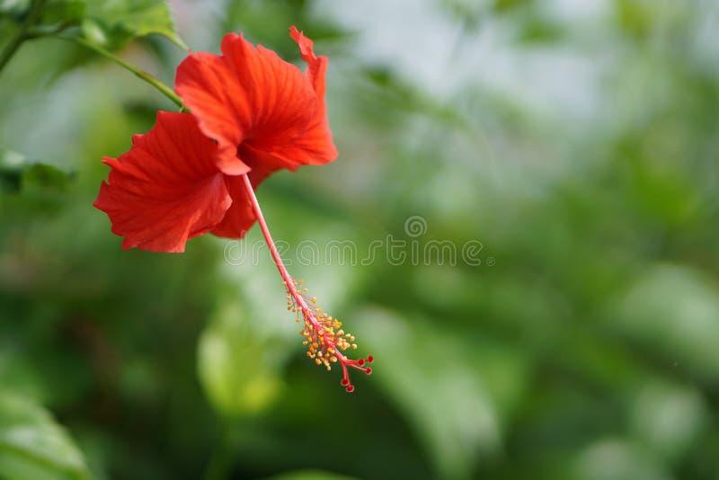 Hibiscus of bungaraya royalty-vrije stock foto's