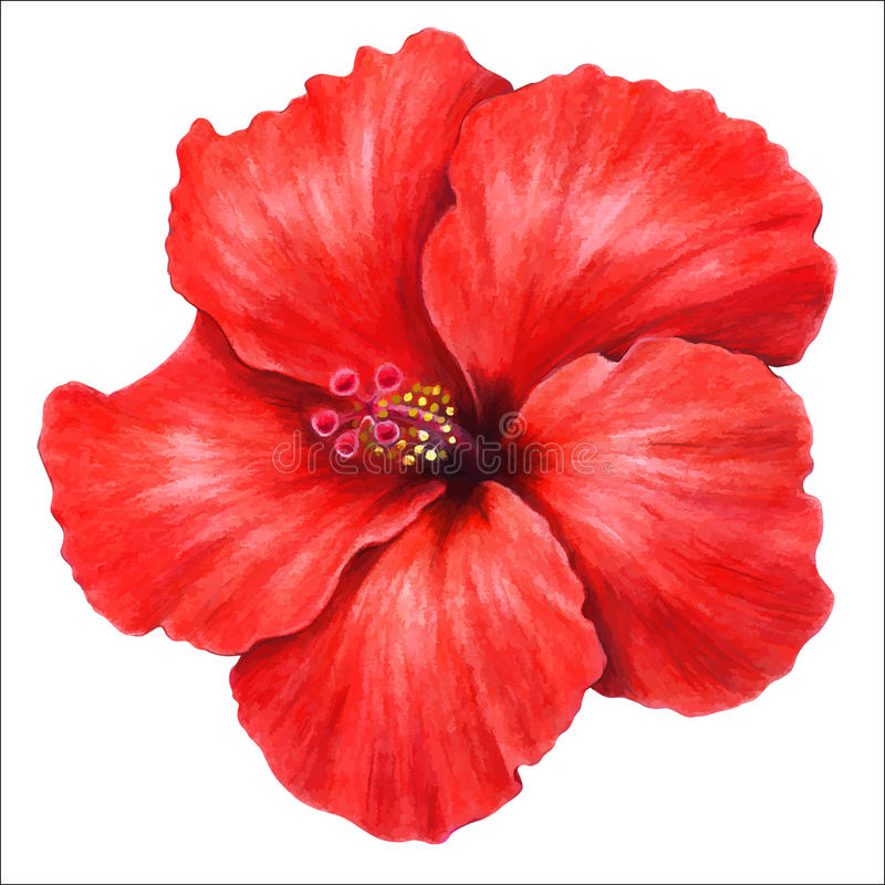 Hibiscus. Colored pencils hand drawing of beautiful hibiscus flower stock illustration