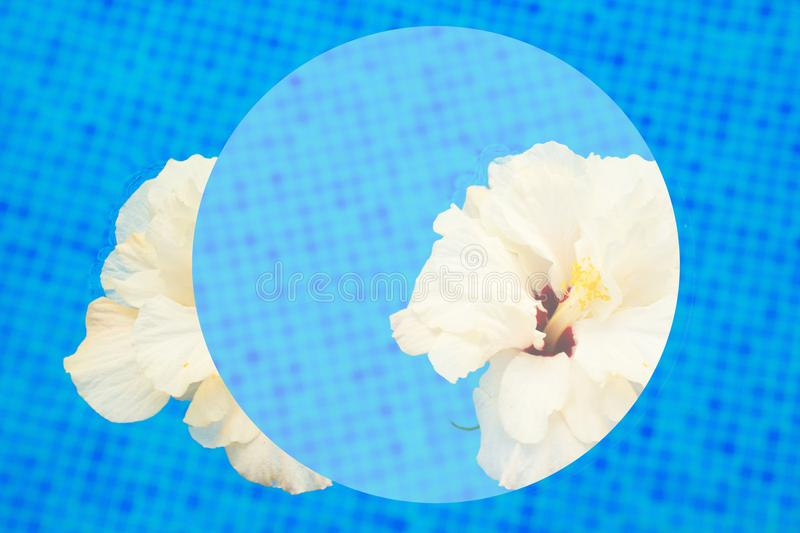 Hibiscus in cool water. White multipetal hibiscus in cool water of tiled pool abstract summer background vector illustration
