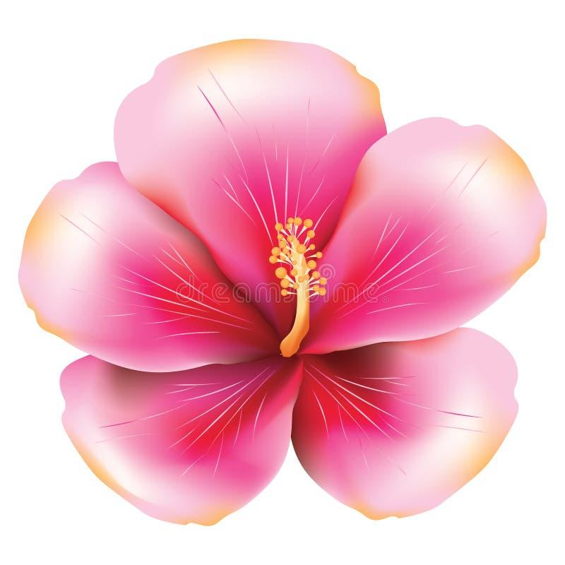 Hibiscus cor-de-rosa ilustração do vetor