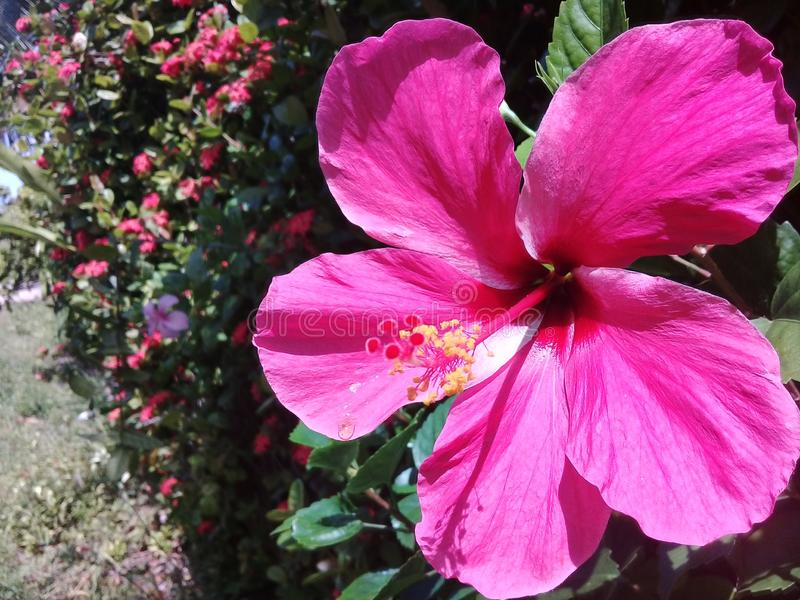 Hibiscus cor-de-rosa bonito em um jardim fotografia de stock