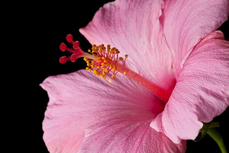 Hibiscus cor-de-rosa isolado imagem de stock royalty free
