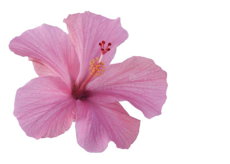 Hibiscus cor-de-rosa isolado no branco fotografia de stock royalty free