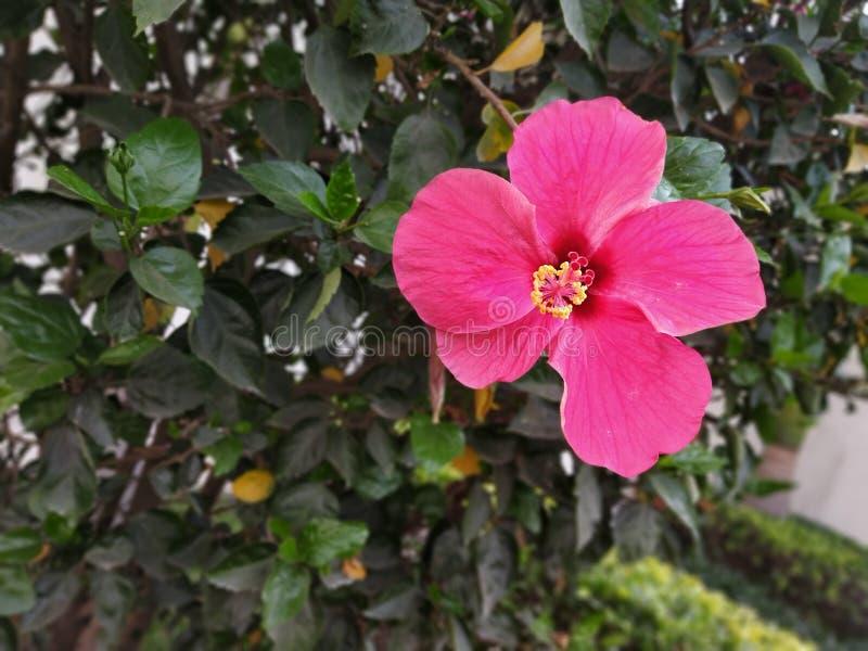 hibiscus royalty-vrije stock afbeelding