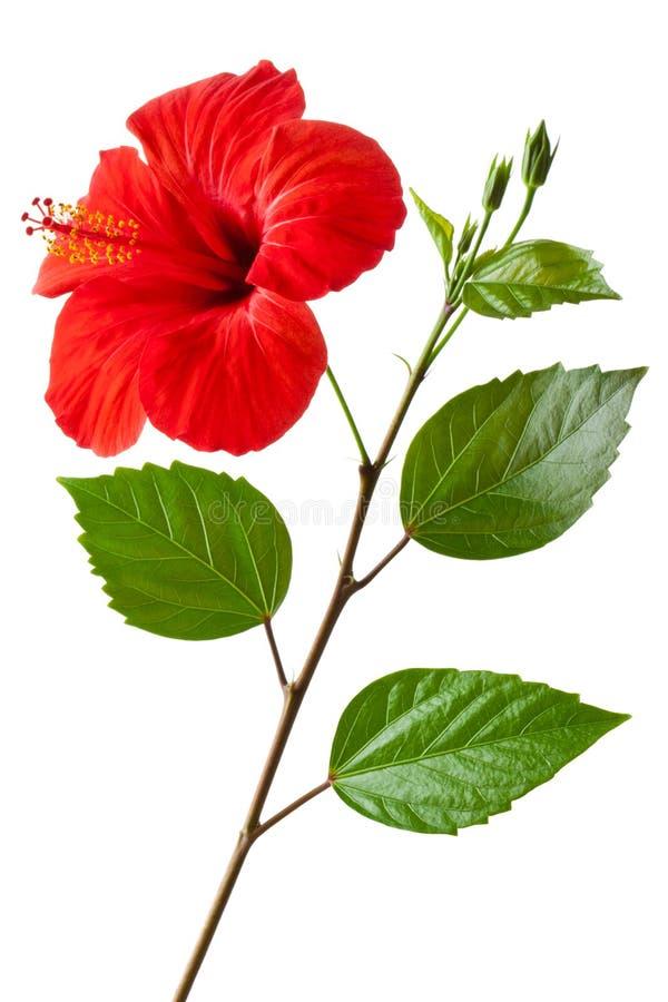 Hibiscus de florescência fotos de stock royalty free