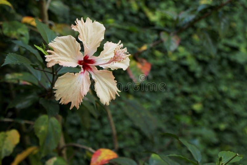 Hibiscus decorativo da cor dos salmões da flor fotografia de stock royalty free