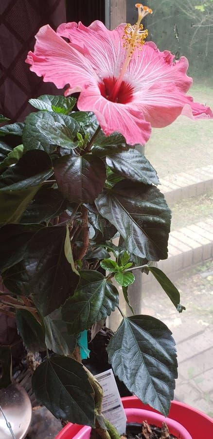 Hibiscus do dia de mãe imagens de stock