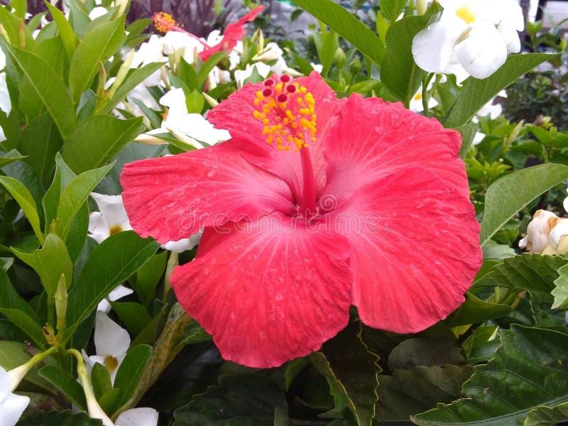 Hibiscus do vermelho de Starburst fotos de stock royalty free