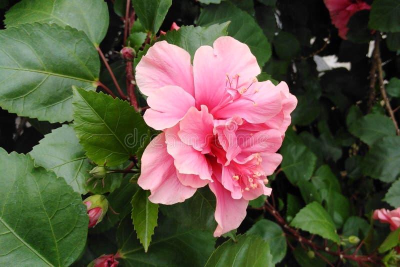 Hibiscus dobro imagem de stock