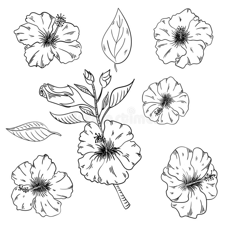 Hibiscus floral tropical flowers set. Wild spring leaf wildflower isolated. Black and white engraved ink art. Isolated hibiscus illustration element on white royalty free illustration