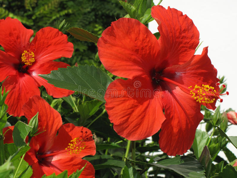 Hibiscus flower. In front of a white wall stock photo