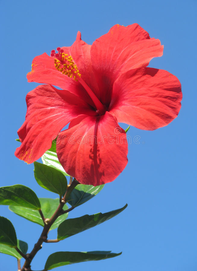 Free Hibiscus Flower Stock Photography - 13777902
