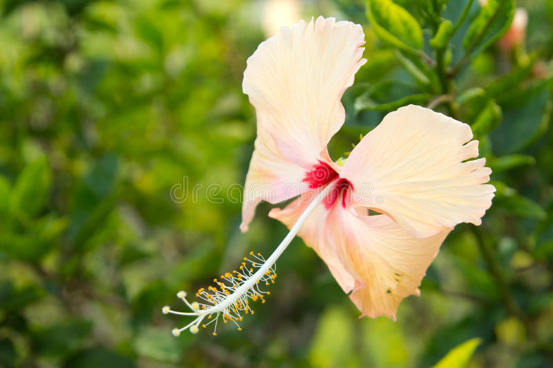 Hibiscus flower. Close up of a pink Hibiscus flower stock photography