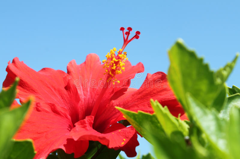 Download Hibiscus Flower stock photo. Image of closeup, flower - 28564622