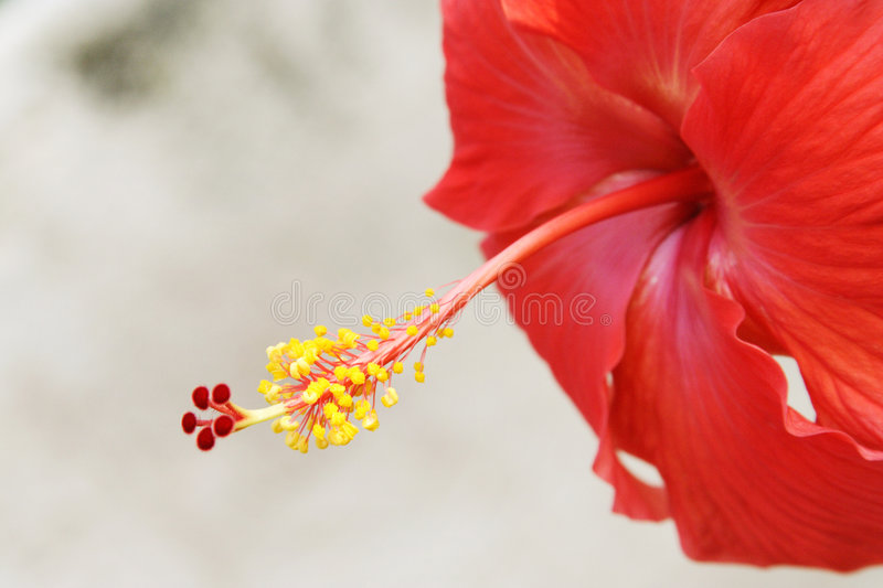 Download Hibiscus flower stock image. Image of orange, floral, growth - 7799777