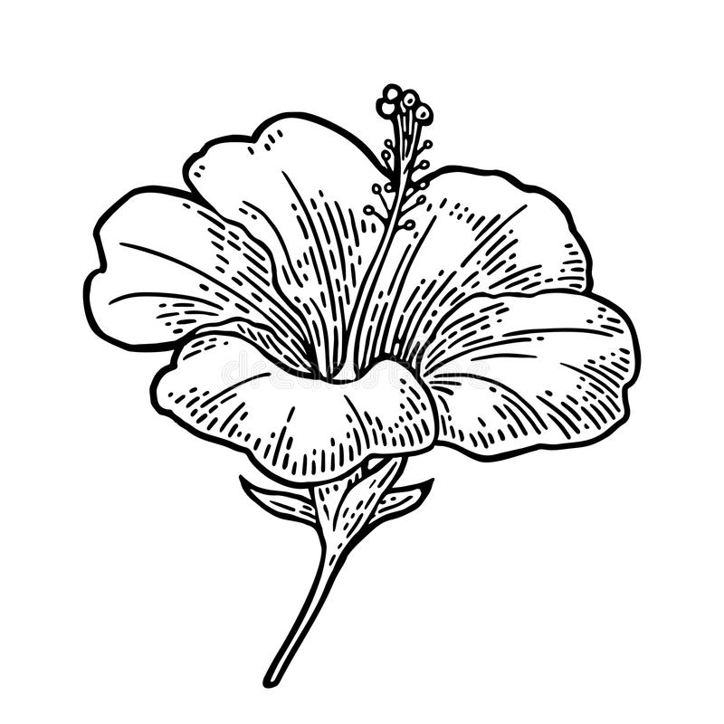 Hibiscus flower. black engraving vintage illustration on white background. Hibiscus flower. Black engraving vintage illustration isolated on white background royalty free illustration
