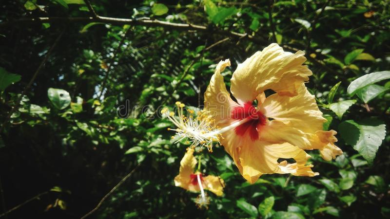 Hibiscus blossoming stock photography