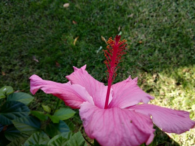 Hibiscus flower, bright pink with green leaves. Close-up. Red flower on a background of green leaves stock image