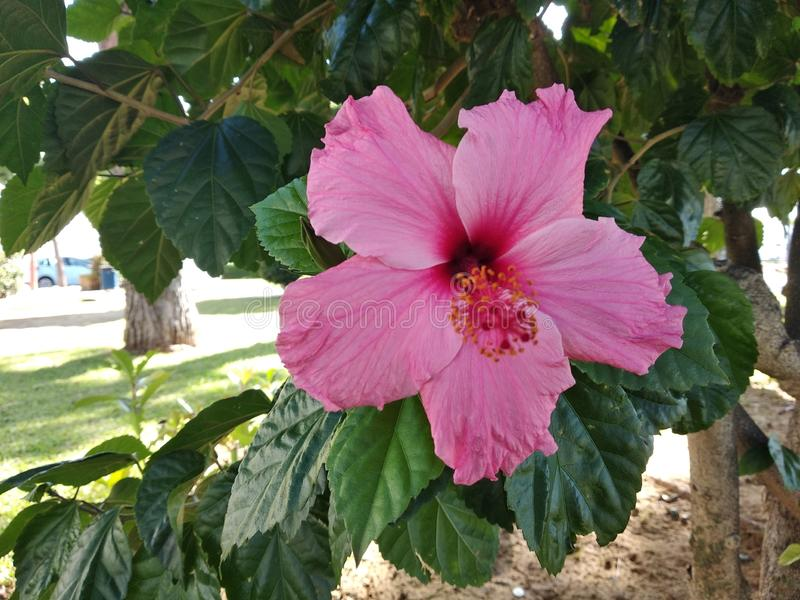 Hibiscus flower, bright pink with green leaves. Close-up. Red flower on a background of green leaves royalty free stock photos