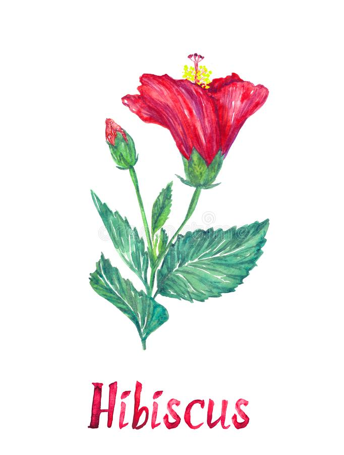 Hibiscus flower and bud, isolated on white hand painted watercolor illustration. With handwritten inscription stock image