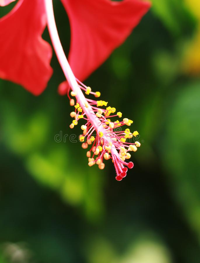 Hibiscus flower close up royalty free stock photography