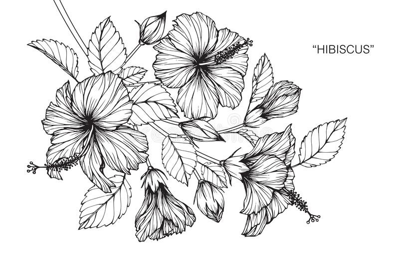 Hibiscus Flower Line Drawing : Hibiscus flower drawing and sketch stock illustration