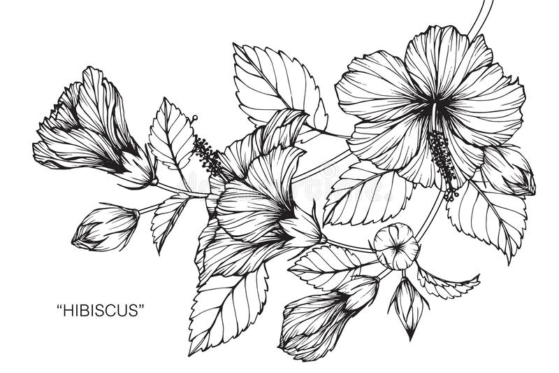 Line Drawing Flowers Blossom : Hibiscus flower drawing and sketch stock illustration
