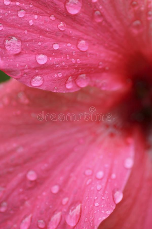 Abstract Hibiscus flower with rain drops extreme close up stock photos