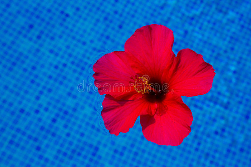 Hibiscus flower in fresh water. Red hibiscus flower in cool water of blue pool stock photos