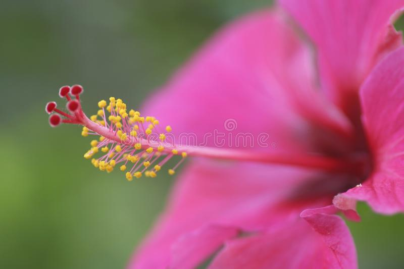 Abstract Hibiscus flower extreme close up stock photography