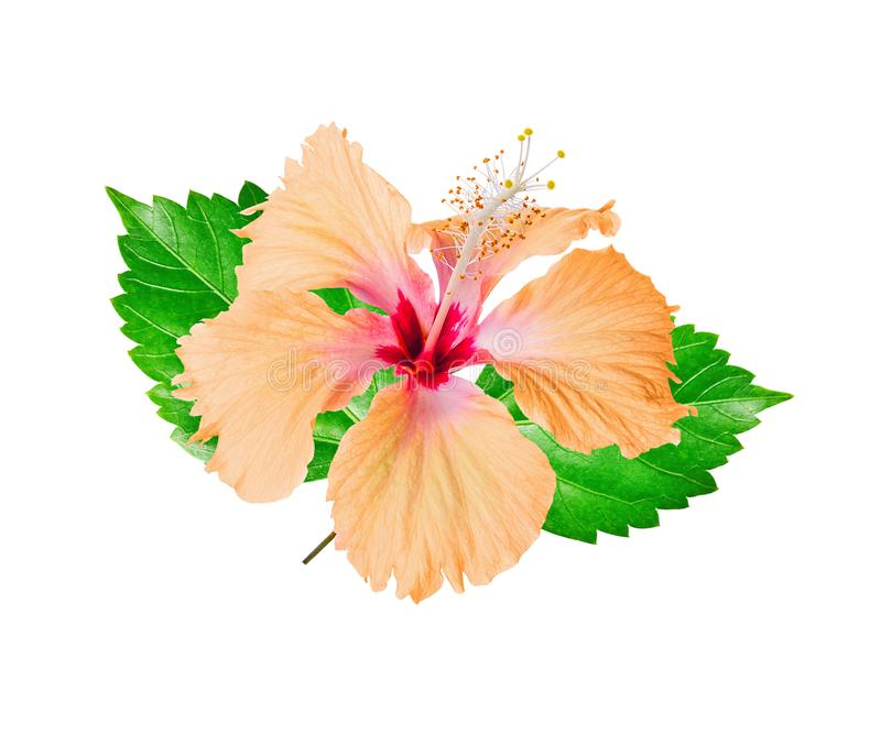 Hibiscus flower isolated on white royalty free stock photo