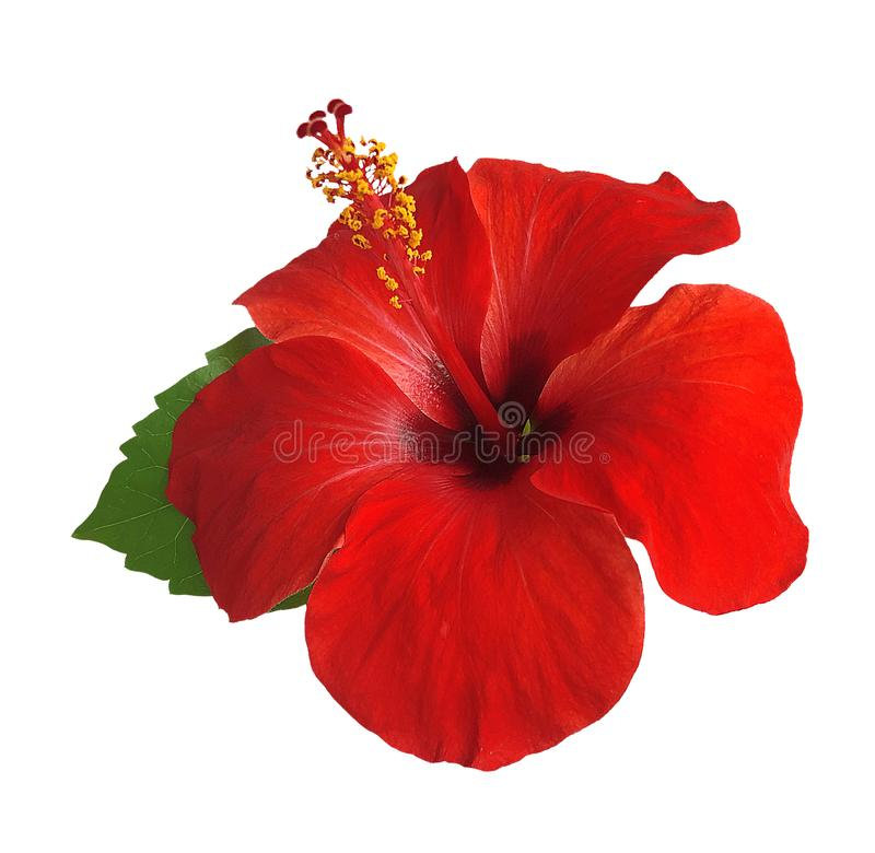 Hibiscus flower isolated on white background,with clipping path. stock photo
