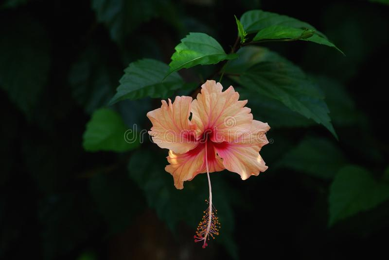 Hibiscus flower in jungle in costa rica. Hibiscus flower was taken in jungle on west coast of costa rica near your home vita royalty free stock photography