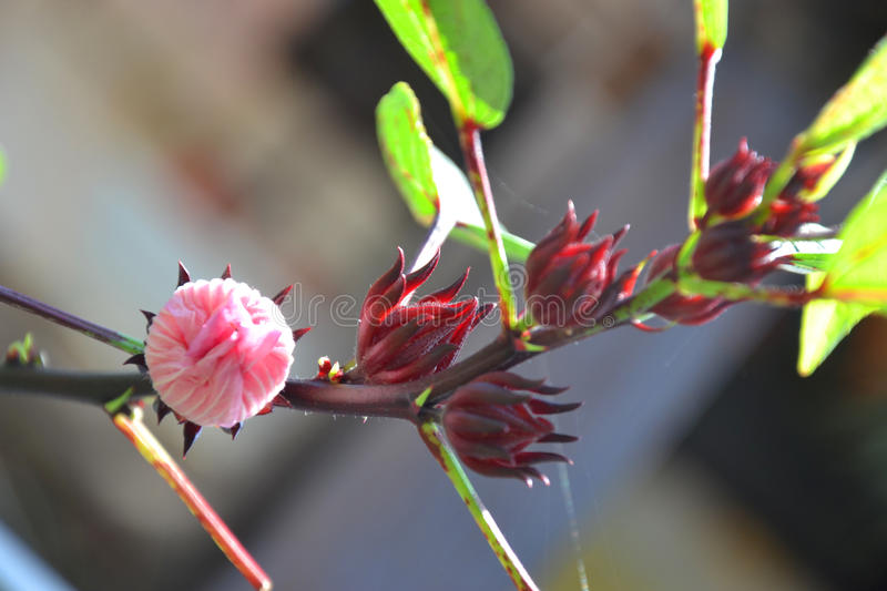 Hibiscus flower or Roselle flower royalty free stock photos