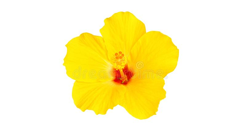 Close up beautiful yellow hibiscus flower isolated on white background stock photos