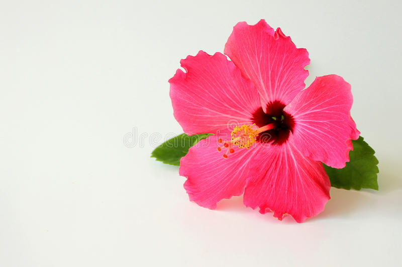 Download Hibiscus flower on white stock image. Image of leaf, lobed - 16334075