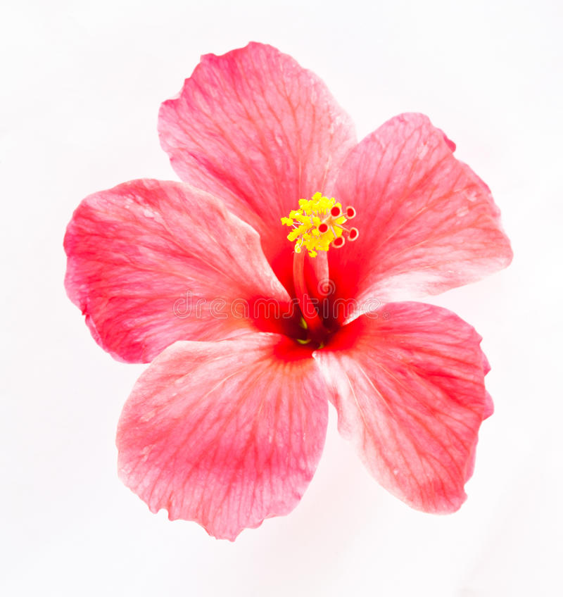 Hibiscus flower. On white background royalty free stock photo