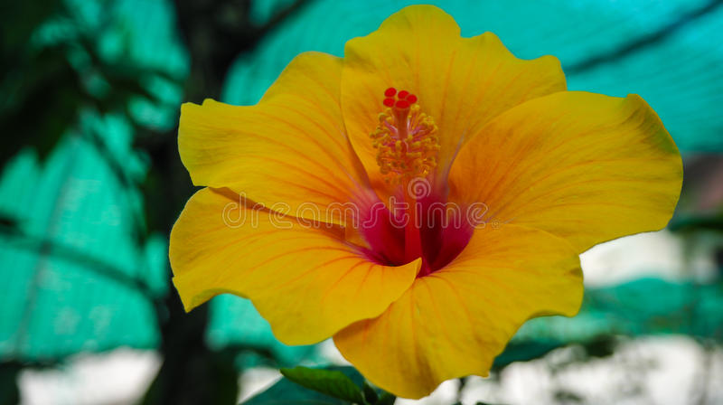 Hibiscus Flower. royalty free stock image