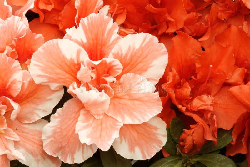 Hibiscus flowers royalty free stock photo