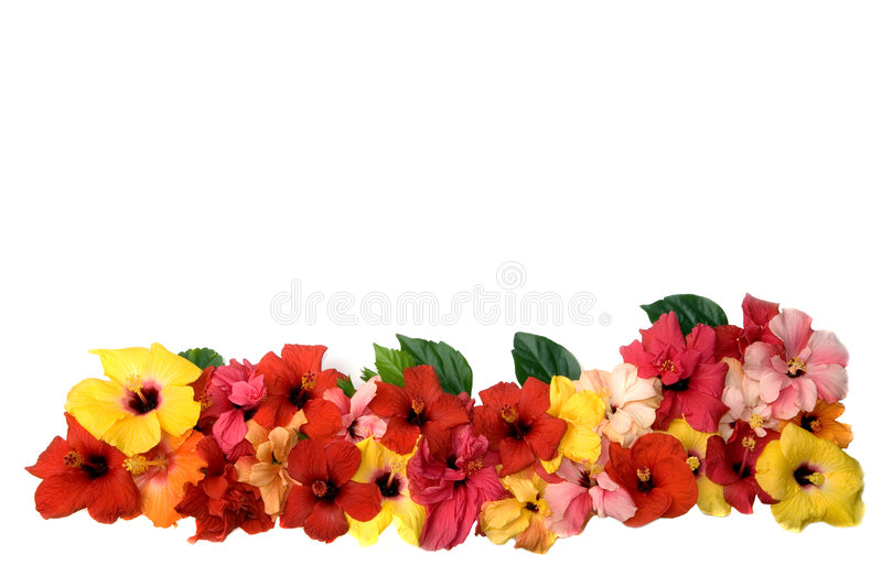Hibiscus flowers royalty free stock image