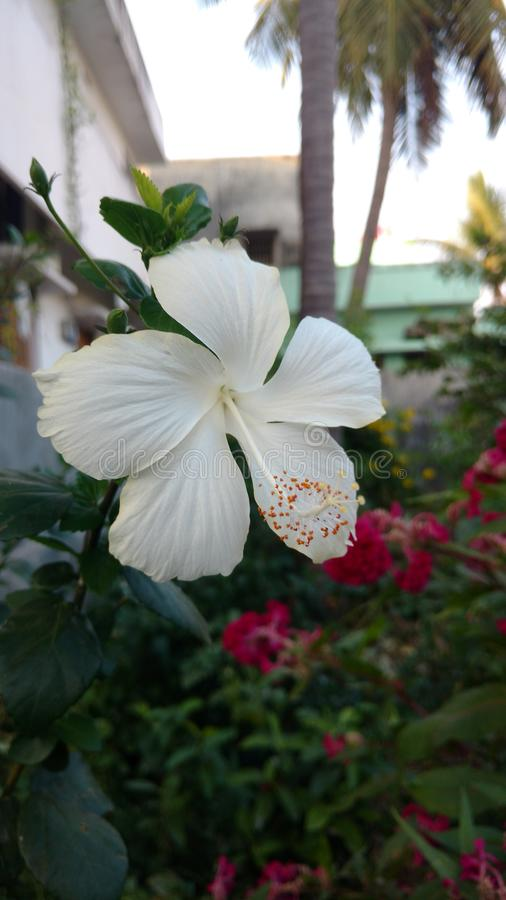 Hibiscus flowers, hibiscus, rose mallow royalty free stock image