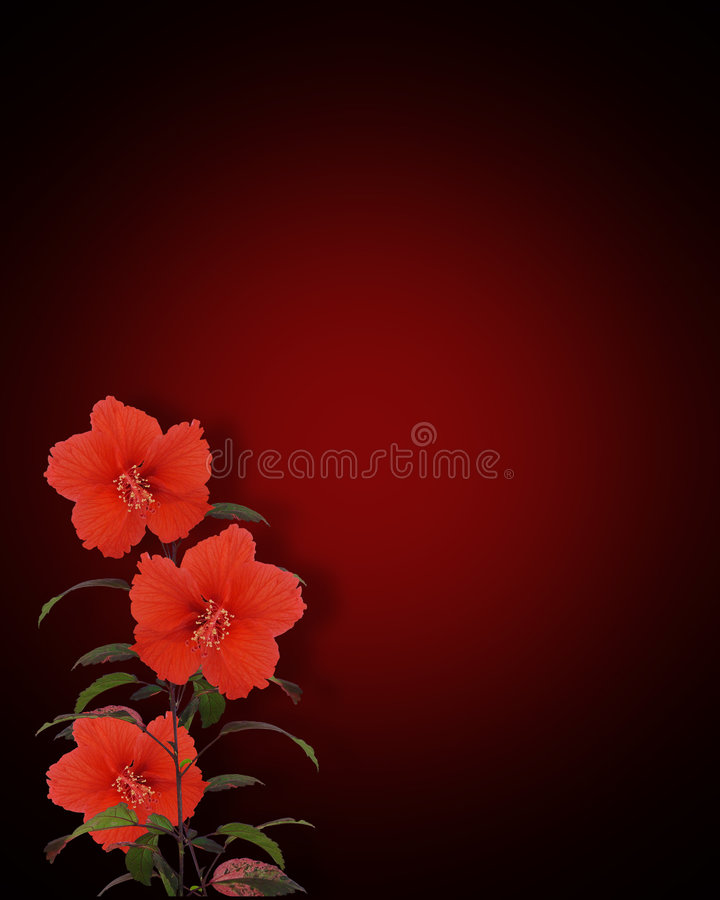 Hibiscus Flowers Red And Black Royalty Free Stock Images