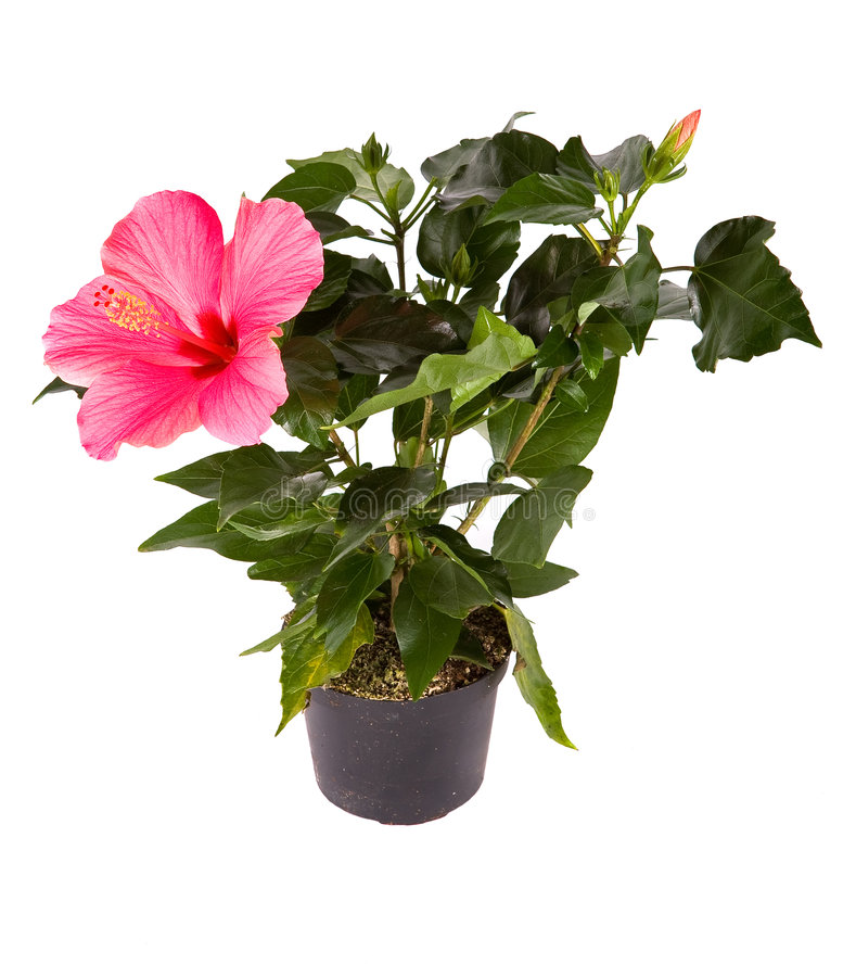 Hibiscus Gemegd fotografia de stock royalty free